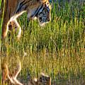 Tiger Tiger Burning Bright by Melody Watson