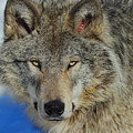 Timber Wolf Portrait by Tony Beck