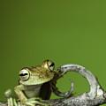 Tree Frog by Dirk Ercken