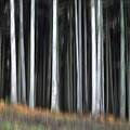 Trees Trunks by Bernard Jaubert