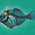 Triggerfish Skeleton, X-ray by D. Roberts