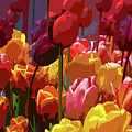 Tulip Confusion by Sharon Talson