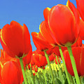 Tulip Field by Giancarlo Liguori