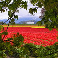 Tulips Secret Window by Louise Magno