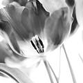 Tulips by Silke Magino