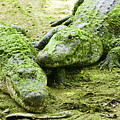 Two Alligators by Garry Gay
