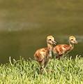 Two Chicks by Carol Groenen