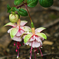 Two Fushia Blossoms by Douglas Barnett