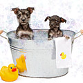 Two Scruffy Puppies In A Tub by Susan Schmitz