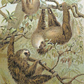 Two-toed Sloth by Granger