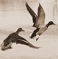 Two Winter Ducks In Flight by Carol Groenen