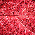 Veins In A Red Autumn Leaf by Ryan Kelly