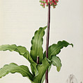 Veltheimia Capensis by Pierre Joseph Redoute