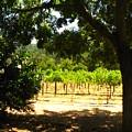 Vineyard View by Kim Pascu