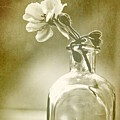 Vintage Geranium by Amy Neal