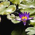 Vivid Purple Water Lilly by Teresa Mucha