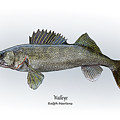 Walleye by Ralph Martens