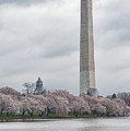 Washington Monument During Cherry Blossom Festival  by Sebastian Musial