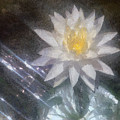 Water Lily In Sunlight by Jeff Kolker