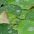 Waterdrops On Lotus Leaves by Silke Magino
