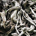 Weathered Roots - Sitka Spruce Tree Hoh Rain Forest Olympic National Park Wa by Christine Till