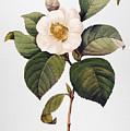 White Camellia by Granger
