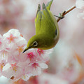 White-eye And Cherry Blossoms by I love Photo and Apple.