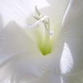 White Gladiola Flower Macro by Jennie Marie Schell