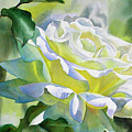 White Rose With Yellow Glow by Sharon Freeman