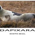 White Seal  by Dapixara Art