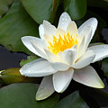 White Water Lily And Bud by Susan Isakson