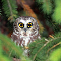 Wild Northern Saw-whet Owl by Mlorenzphotography