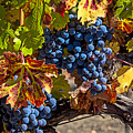 Wine Grapes Napa Valley by Garry Gay