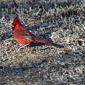 Winter Redbird by Douglas Barnett