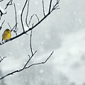 Winter Snow With A Touch Of Goldfinch For Color by Laura Mountainspring