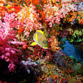 Yellow Banded Sweetlip Fish And Coral by Beverly Factor