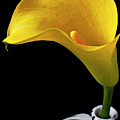 Yellow Calla Lily In Black And White Vase by Garry Gay