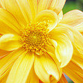 Yellow Dahlia by Kathy Yates