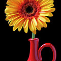 Yellow Fancy Daisy In Red Vase by Garry Gay
