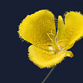 Yellow Star Tulip - Calochortus Monophyllus by Christine Till