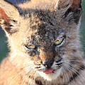 Young Bobcat 04 by Wingsdomain Art and Photography