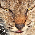 Young Bobcat Portrait 01 Print by Wingsdomain Art and Photography