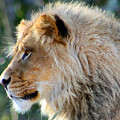 Young King Close Up by Nick Gustafson