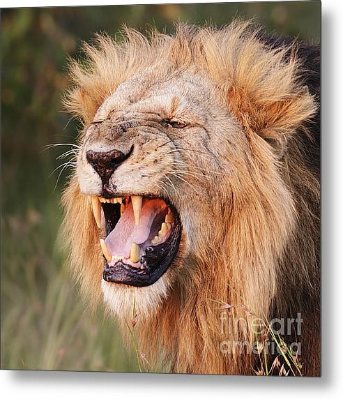 Richard Garvey-Williams - Snarling Lion Print