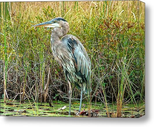 Eti Reid - Great blue heron waiting ... Print