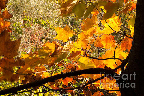 Optical Playground By MP Ray - Bacl-lit Maple Leaves Print