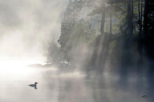 Brian Pelkey - A Loon In The Mist Print