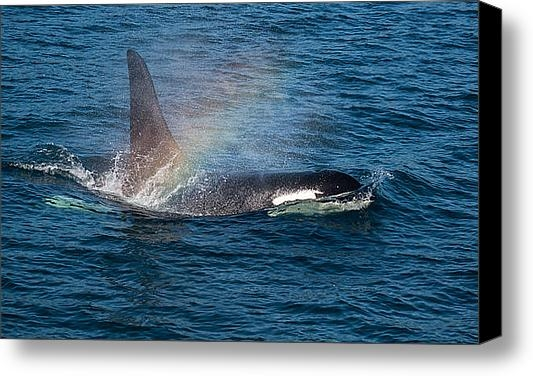 Puget  Exposure - Orca Whale Surfacing Print