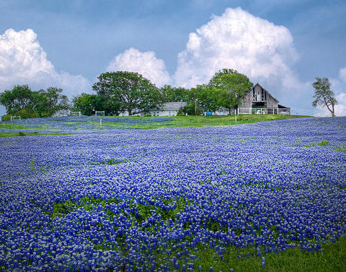 David and Carol Kelly - Bluebonnet Farm Print