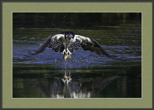 David Lester - Osprey Bird Of Prey Print